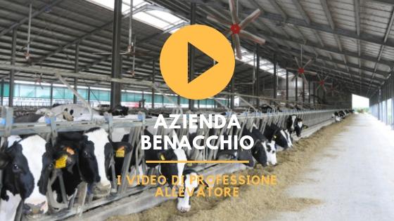 azienda benacchio bovine da latte